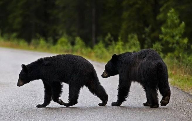 恐怖!北京八达岭野生动物园内黑熊伤人,这次背后的黑幕是什么?