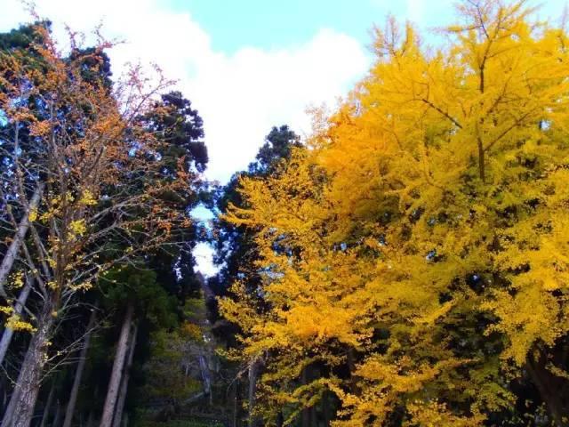 秋季的日本,最必须去的六个银杏美景之地!