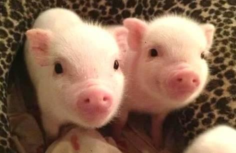 """猪的英文怎么说?除了""""Pig""""外你还知道几种?"""