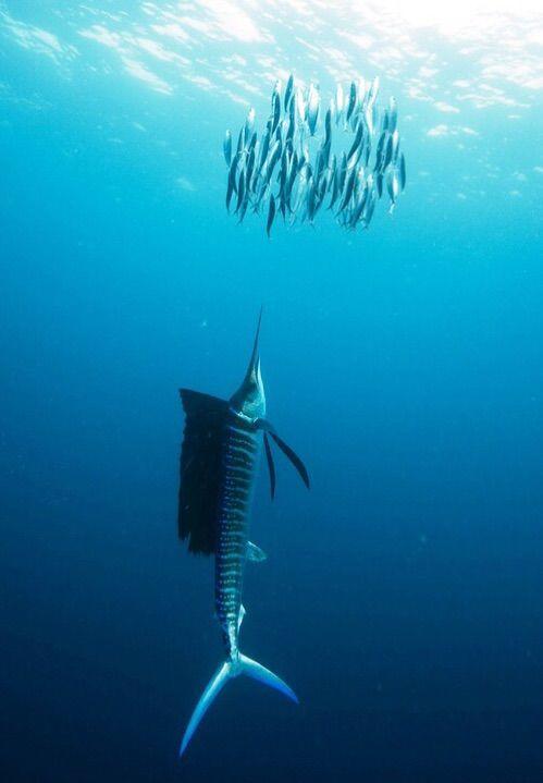 海明威《老人与海》中的旗鱼怎么画?彩铅手绘教程