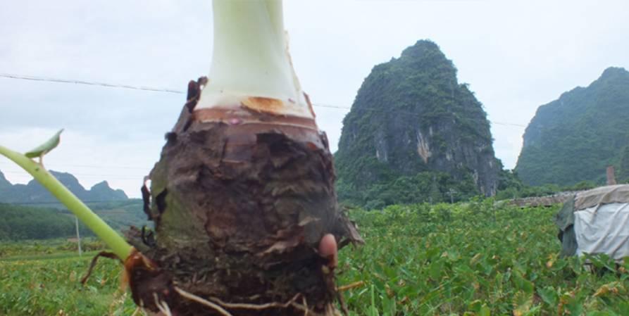 荔浦的芋头,像桂林的山水一样远近闻名, 清朝康熙年间被列为广西首选图片