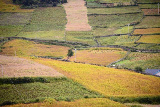 雨后的香格里拉丽江宛若仙境,荞麦青稞熟了狼毒花红了