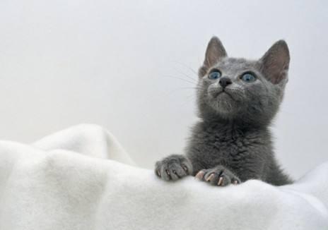 孕妇养猫注意事项_孕期养猫狗,宝宝极易感染弓形虫致畸形?很多人都错了