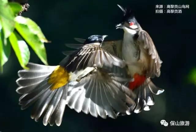 蓝翅叶鹎_探秘风靡国际鸟坛的观鸟圣地——高黎贡山