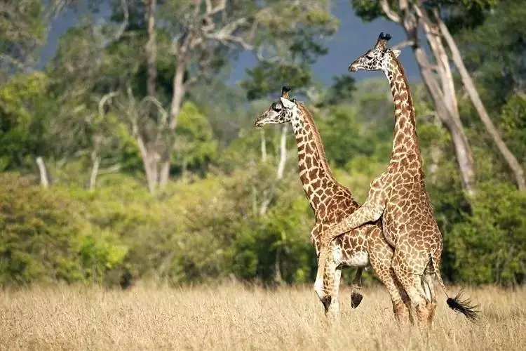 长颈鹿竟…竟然是个Gay?