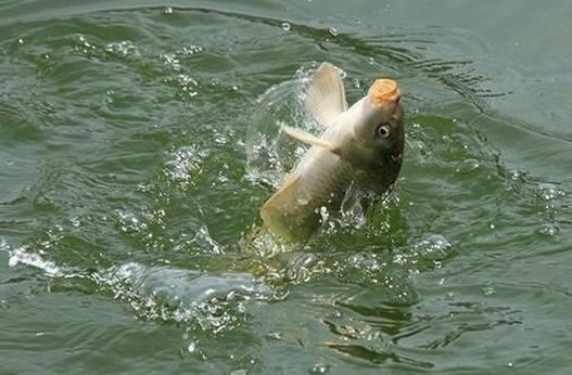 二,钓鱼人自制野钓问题饵时要注意的教程鲤鱼小提琴v问题图片