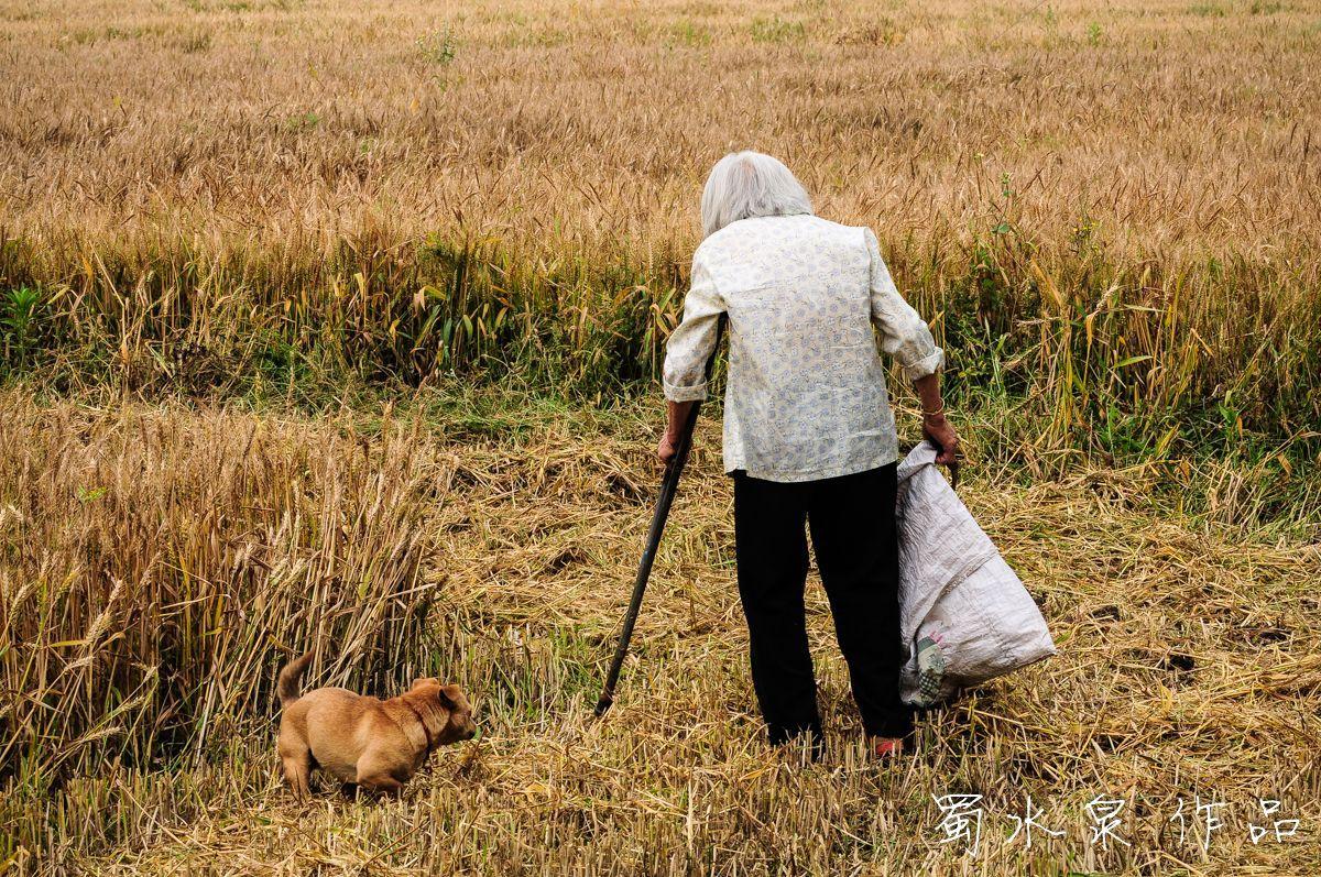 割稻谷时的图片。_成都田间拾穗老人:年过花甲拄拐杖 1天捡不到5元钱