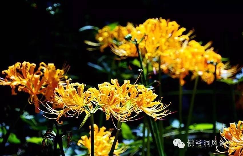 金色曼陀罗,花都开好了——等您遇见不止息的幸福