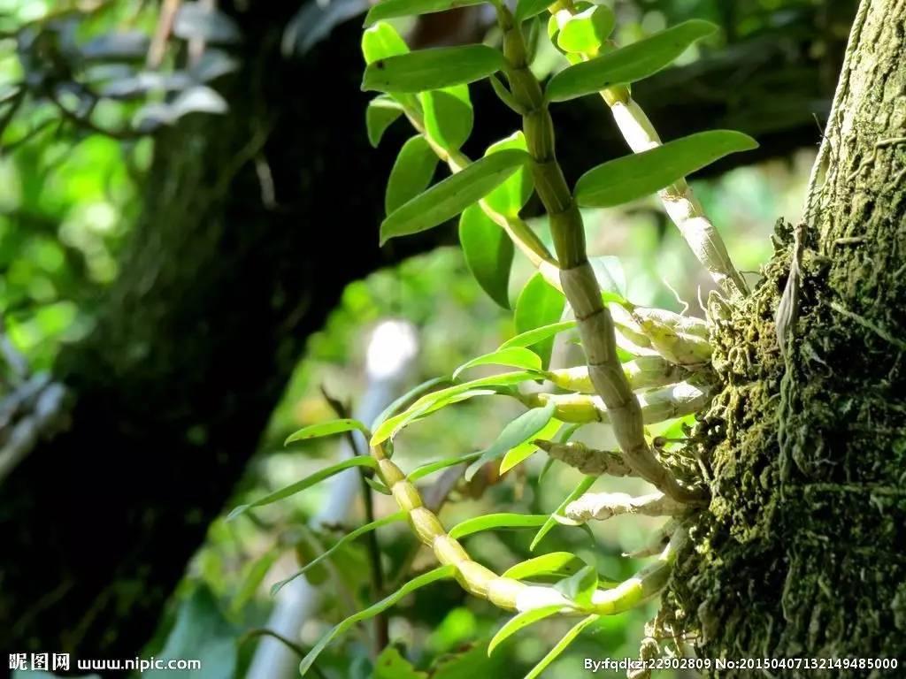 石椒草属 -百科