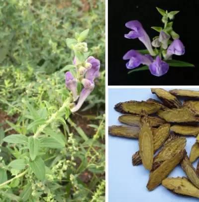 中国传统药用植物黄芩中天然产物黄芩素的生物合成途径已完全解析