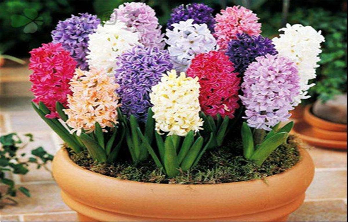 风信子 学名 Hyacinthus orientalis