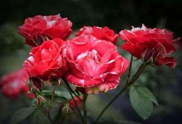 五月玫瑰_时尚 正文  梵惑女士香水,香味大胆交融,性感的玫瑰,热烈的五月玫瑰