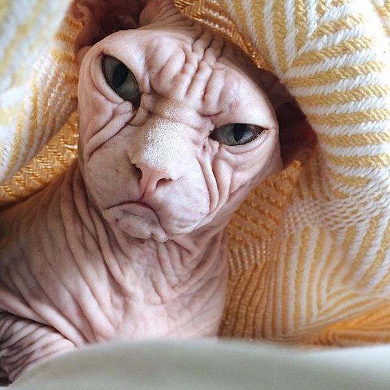 身带纹身的斯芬克斯猫,看起来像黑帮老大其实很温顺