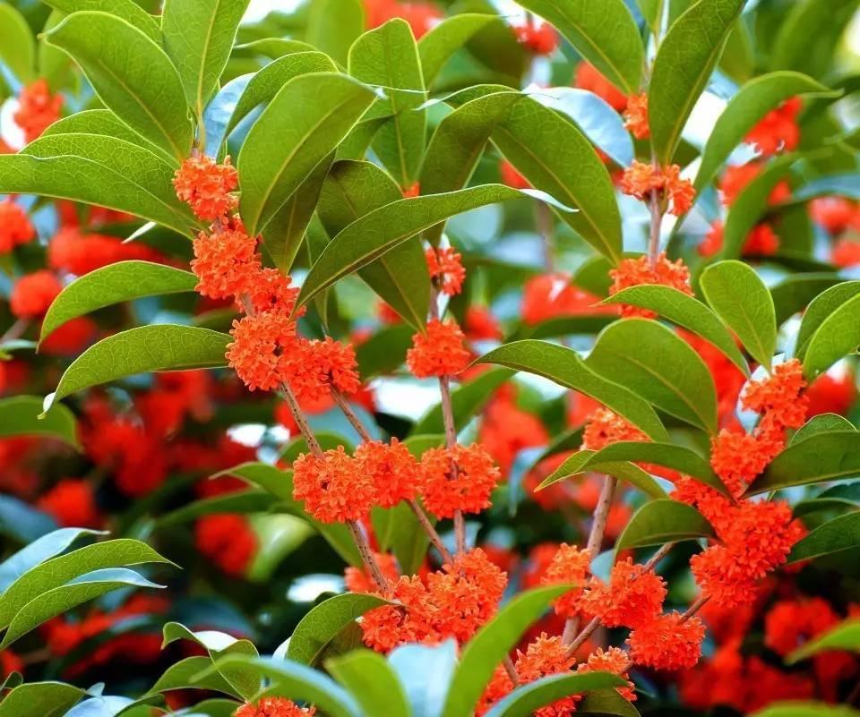 红豆树_基地种植的苗木多为2-5公分的鄂西红豆树,7-15公分桂花树等等.