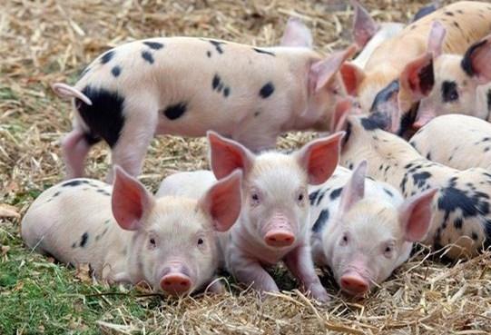 奶水喂小猪_猪场的根本在于母猪,母猪奶水出现问题,小猪肯定会有损失,有的养殖户