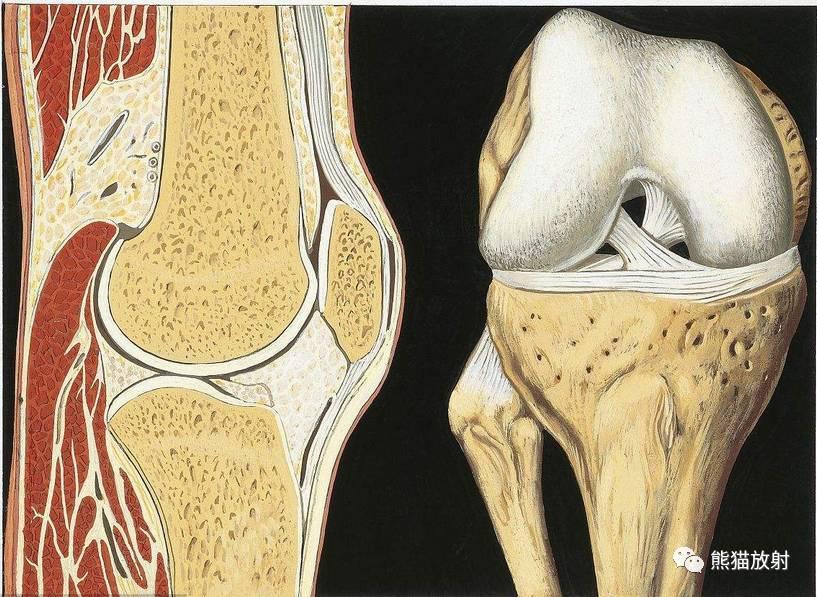 【解剖】膝关节系统解剖图+矢状mri+示意图