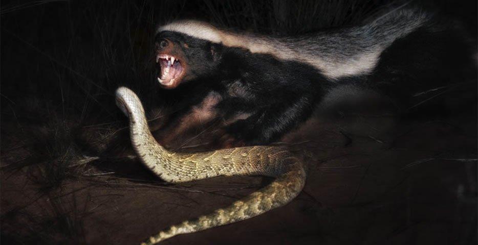 动物世界: 平头哥蜜獾那么厉害 真的就没有天敌了吗?