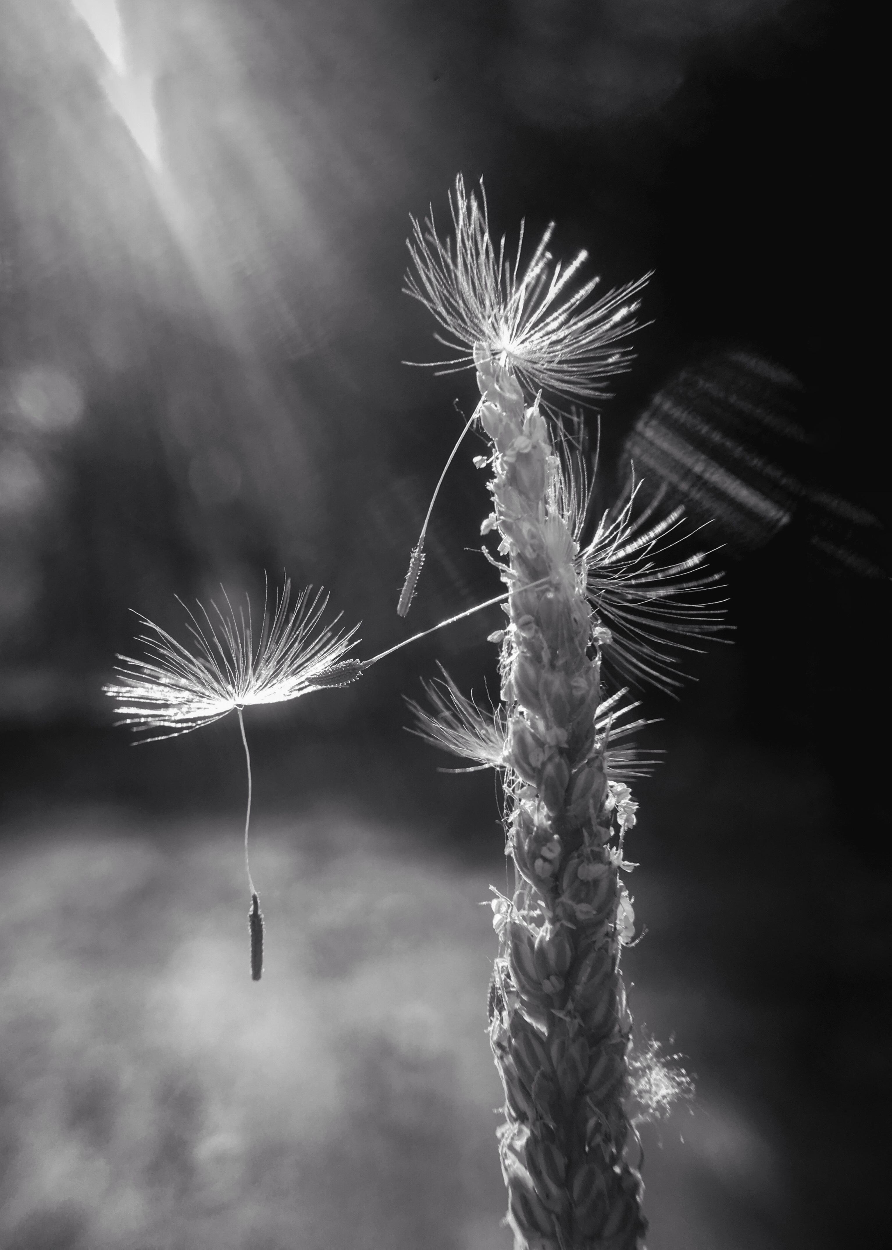 黑白光影素描 植物