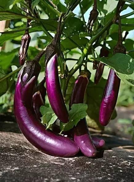 茄子有机肥-茄子专用有机肥