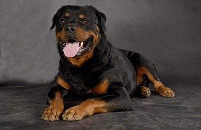 美系罗威纳犬图片-淘金地