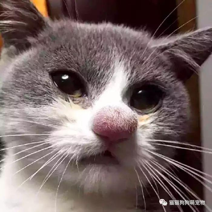 被蜜蜂叮咬了的喵星人