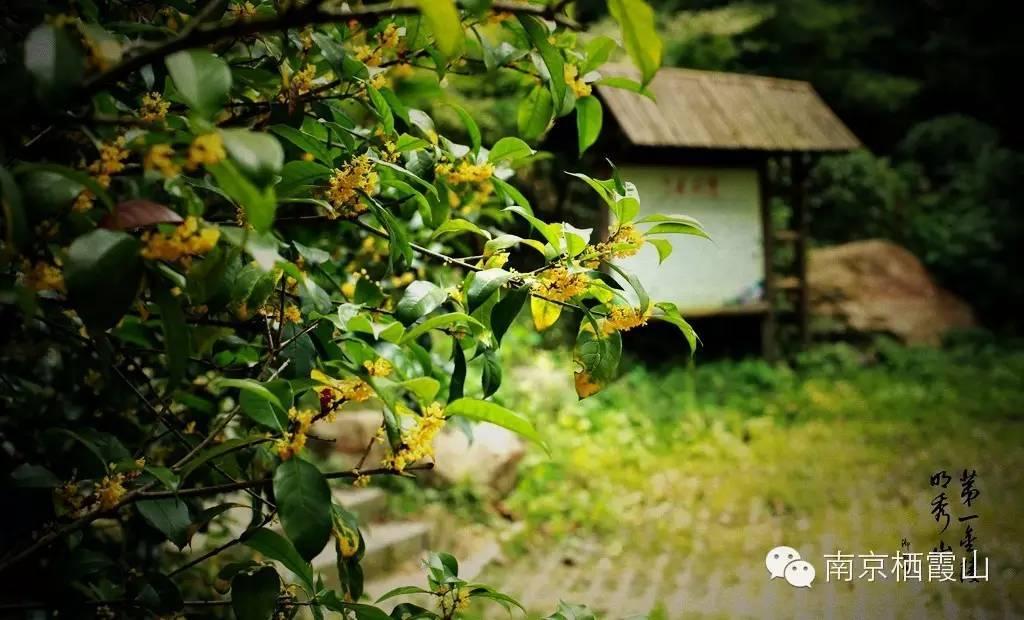 本来是为了寻访桂花,却又不愿破坏这样的美景,生动地表现了心中的矛盾