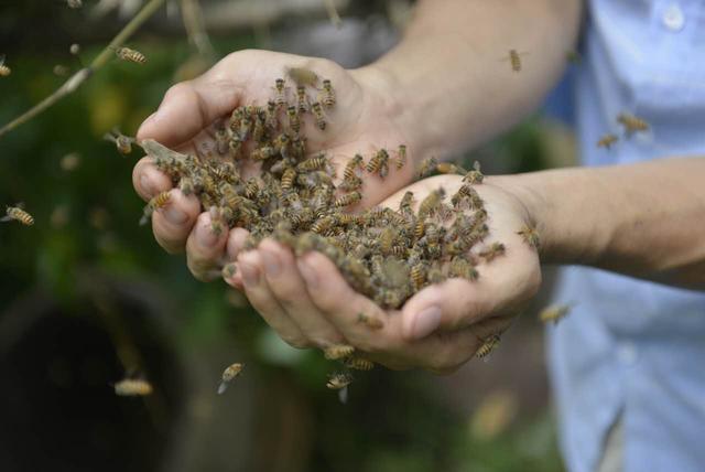 小蜜蜂的一生不是在采蜜,就是在采蜜的路上.图片