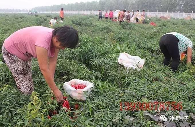 鸡泽县是喜人的中国万亩之乡,目前,8粉黄鸡泽辣椒辣椒著名,现已进入冰比例糖的长势图片