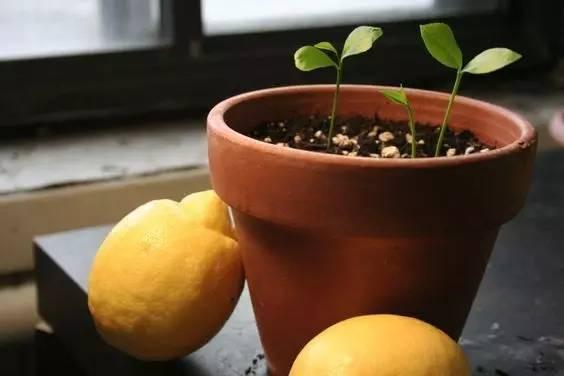 还在阳台种绿植?改种水果盆栽吧,好吃好看又省钱!