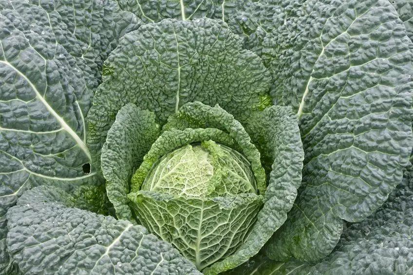 菜花、卷心菜、苤蓝……它们竟然是一种菜!