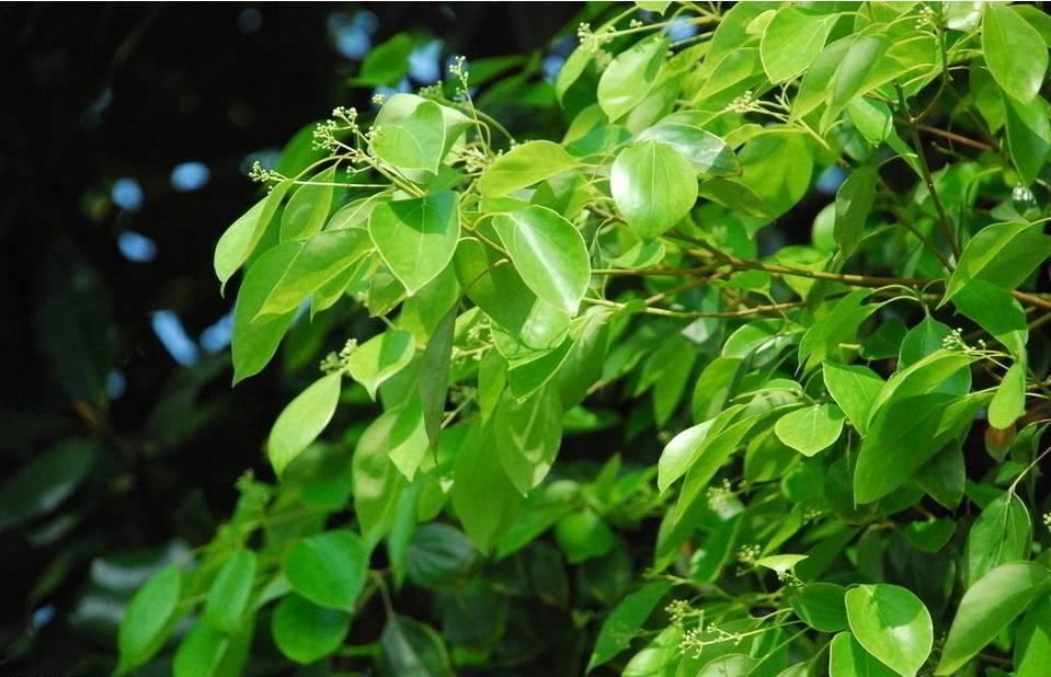 樟树叶 图片