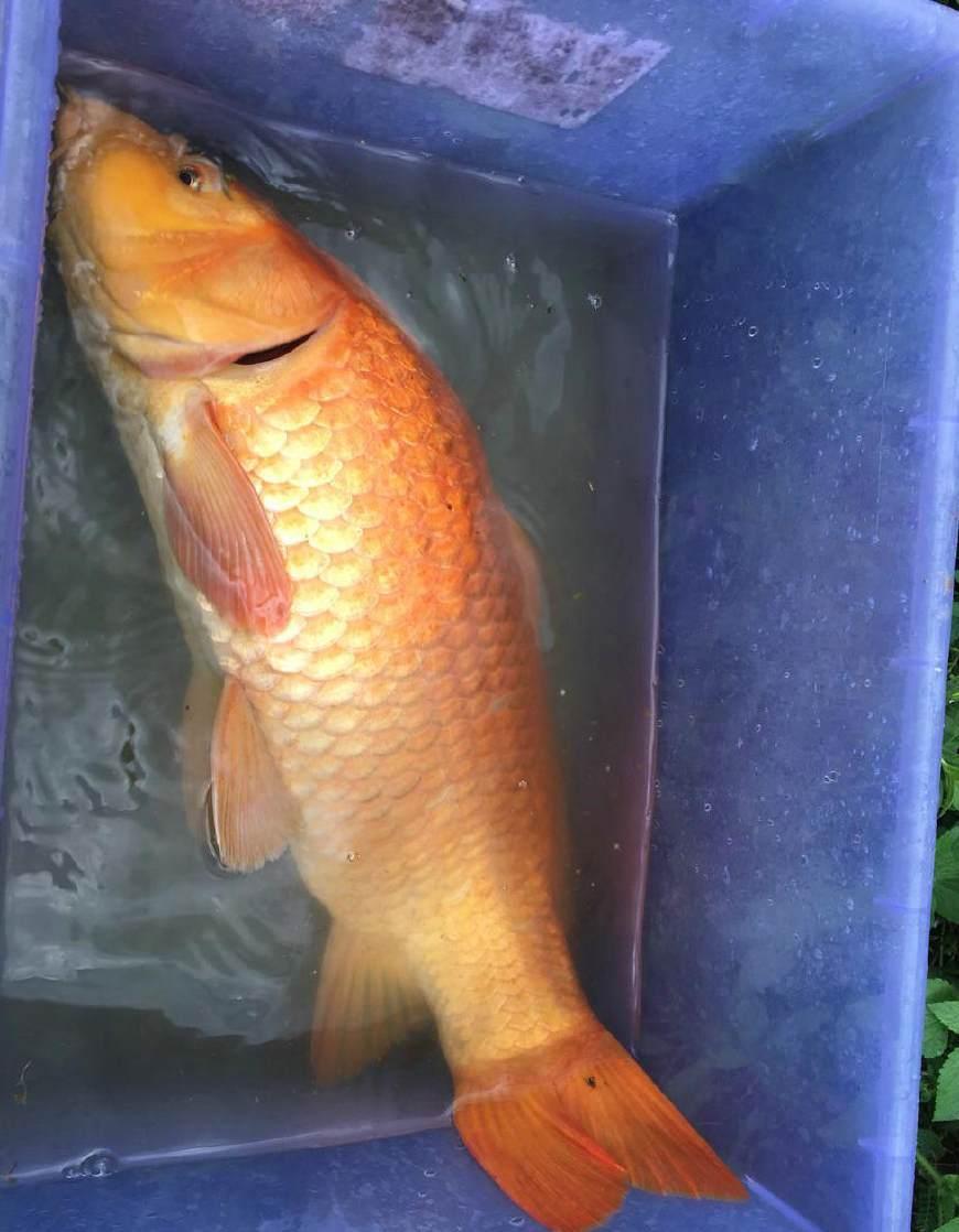 1.0子线野塘钓鲫鱼,却碰到5斤多红鲤鱼溜的心惊胆战