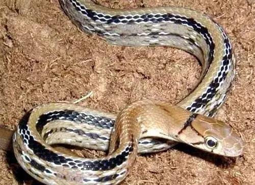 只是告诉钓友,野钓夜钓时候小心,并不是蛇类全科,只发些钓鱼常见的蛇,不管有没有毒,看见蛇就赶紧躲开吧!