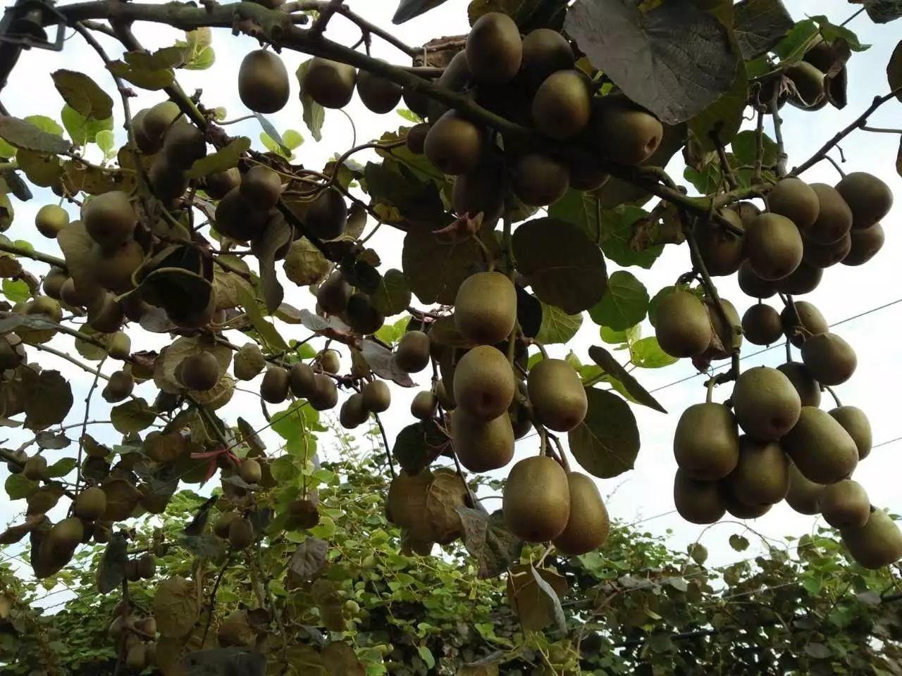 里,大片的红心猕猴桃长势喜人,绿油油的叶子下面挤满了饱满欲坠的
