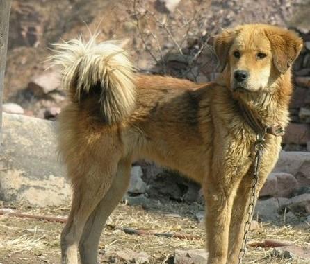 WWW_TUBEHOUND_COM_中华田园犬的北方品系:垂耳东北大笨狗,颜值,气质完全