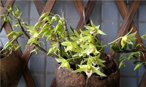 铁皮石斛长到什么样子就可以采摘 家养铁皮石斛鲜条剪摘三部曲图片