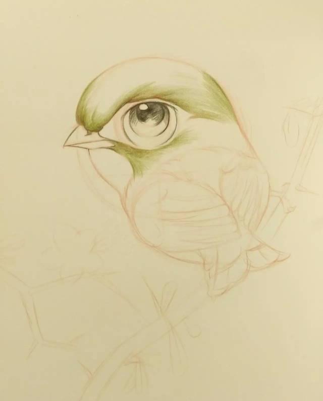 【手绘教程】教你用彩铅画一只相思鸟