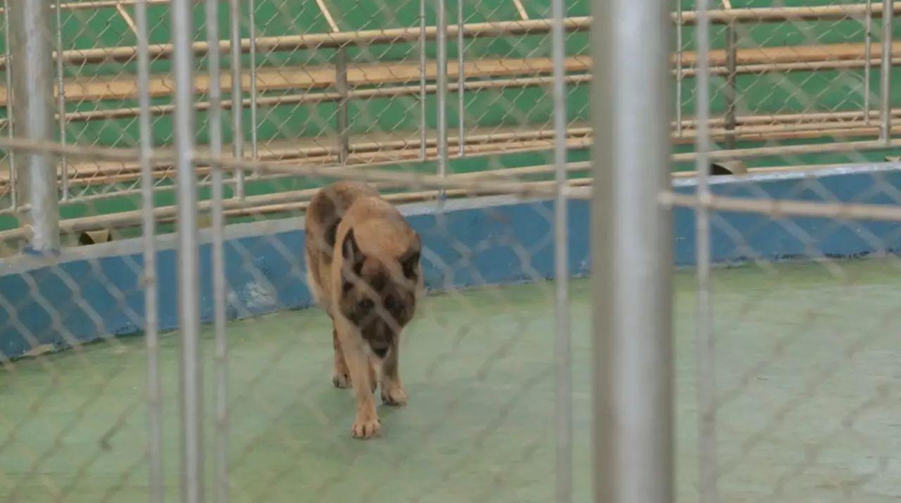 广州动物园马戏团团长的困兽之斗:失业的老虎,猩猩将何去何从?