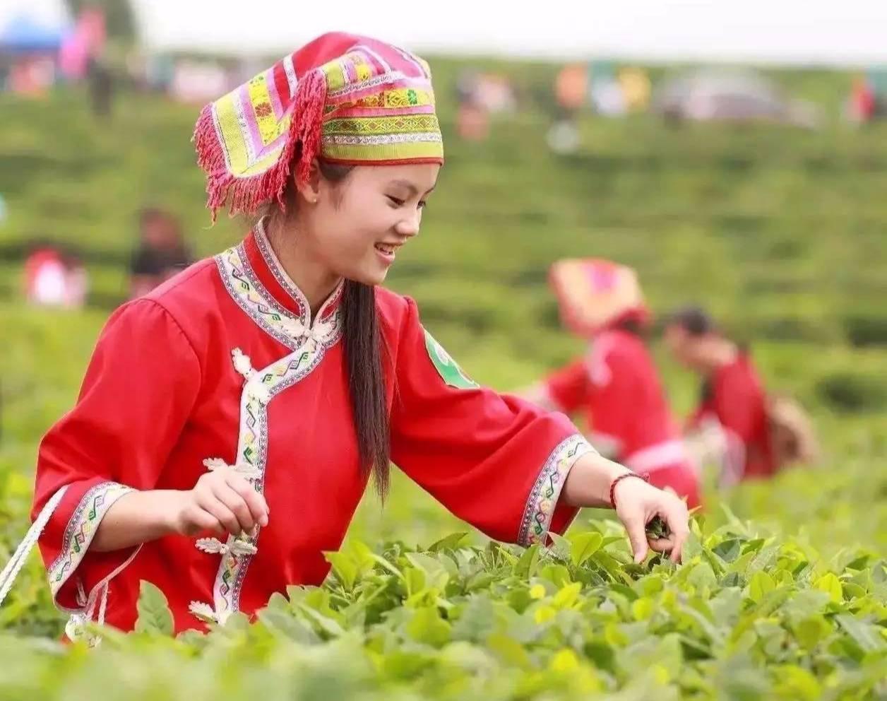 约2500年历史,江华境内有成片的古茶树林;我们江华瑶族自治县是湖南省