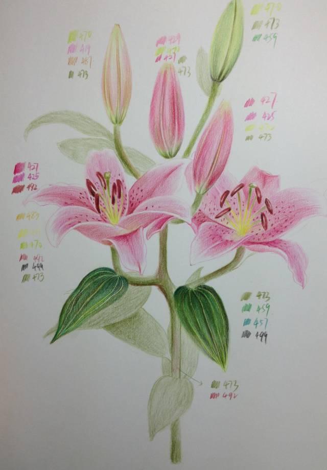 教程| 教你用彩铅画一朵百合花