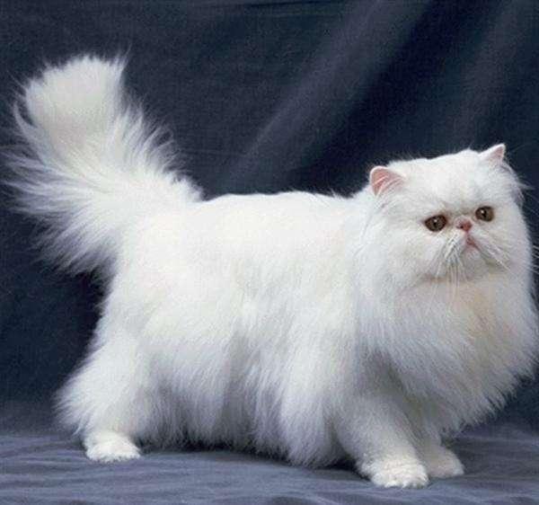 金吉拉猫和波斯猫的7大区别,再也不会搞混了!
