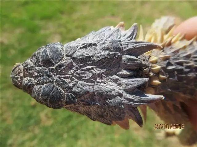 棘刺尾蜥_【附录II·巨型环尾蜥】遥望太阳的魔龙,其野保状况令人堪忧