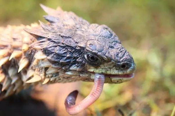 【附录ii·巨型环尾蜥】遥望太阳的魔龙,其野保状况
