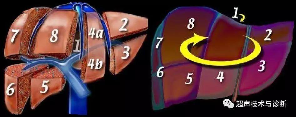 肝脏生理解剖结构_实用肝脏分叶,分段及超声对比图