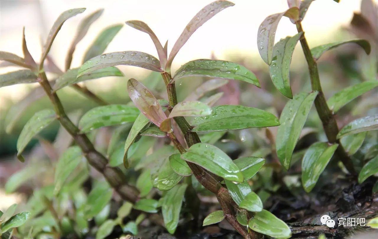 铁皮石斛图片 兰科石斛属的美丽图片