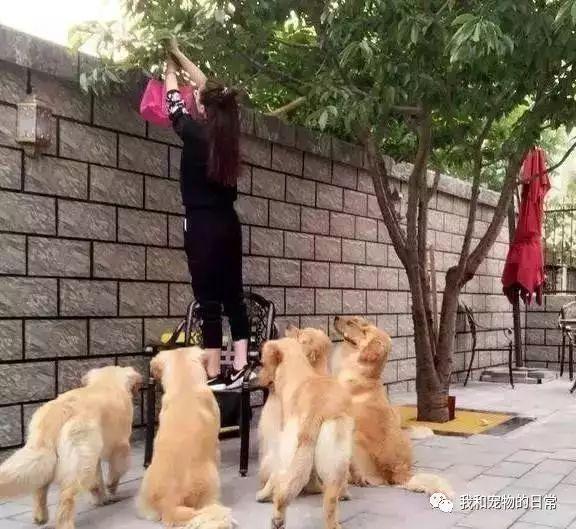 网友家里养了7只小奶狗,长大后的金毛宝宝们变成了大暖男!