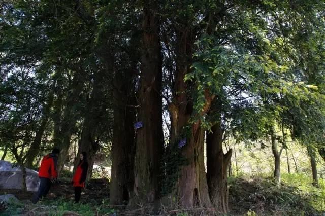 乐虎国际最新网址1994年红豆杉被中国定为一级珍稀濒危保护植物