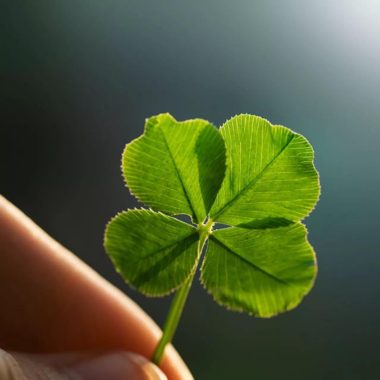 四叶草的每片叶子都代表不同的含义 第一片是健康; 第二片是真爱图片