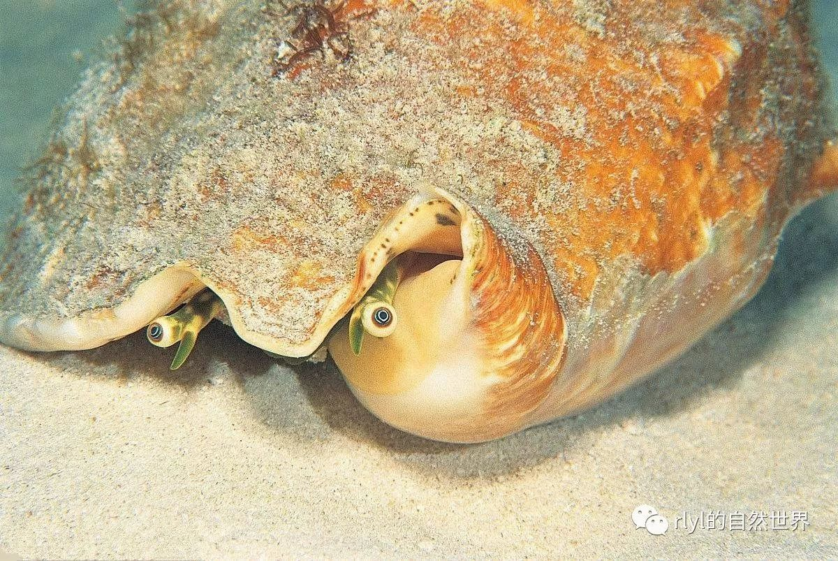 有着诡异的眼睛,味道非常鲜美,这种海螺你们吃过吗?