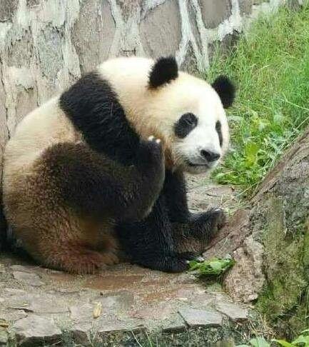 从中国大熊猫保护研究中心引进的4只大熊猫,已落户沈阳森林动物园,为